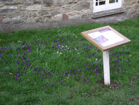 Crocuses in Bampton